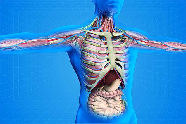 photo of internal organs